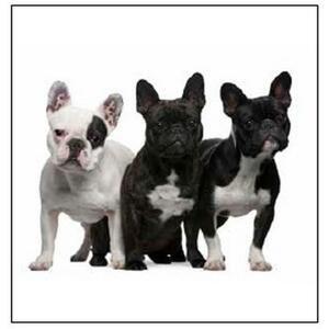 Dekoračný Vankúš French Bulldog, 40/40cm